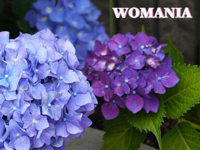 2013年紫陽花