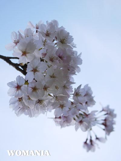 桜、咲きましたね