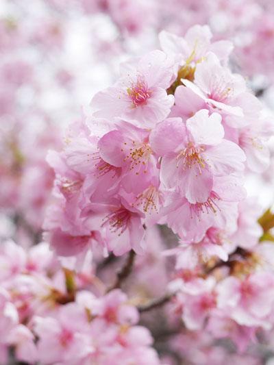 館山城の河津桜