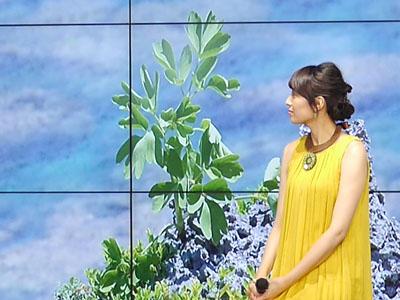 沖縄に自生する長命草