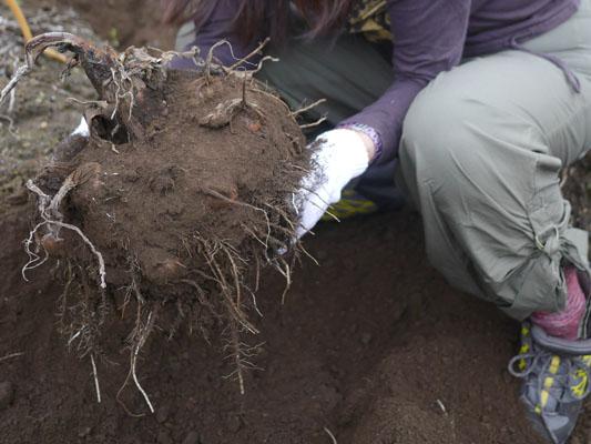 里芋の収穫体験中