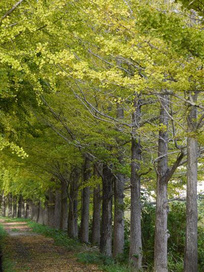 日野川の銀杏並木