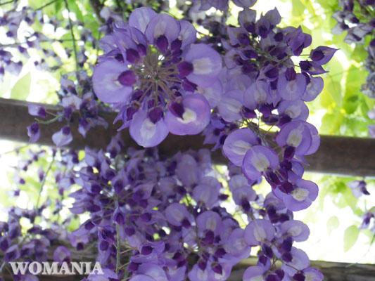 亀戸天神 藤の花を真下から撮影してみた