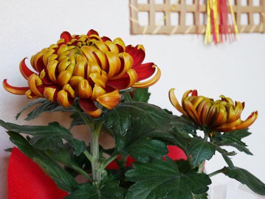正月の菊 フエゴ 初日の出 豪華絢爛