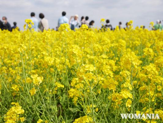 飛行機撮影スポット 成田さくらの山公園 菜の花