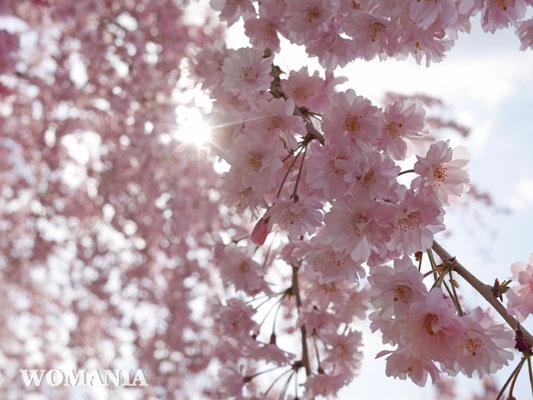 飛行機撮影スポット 成田さくらの山公園 八重桜 開花