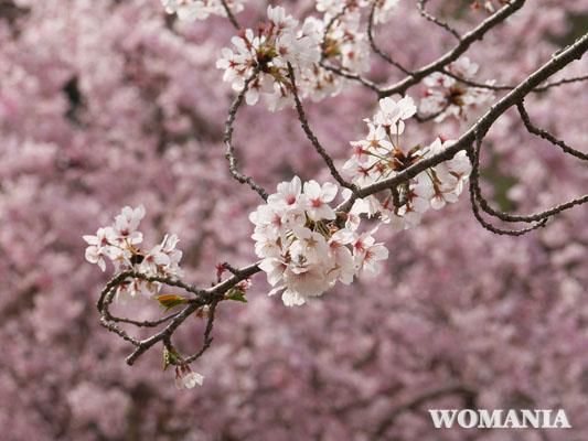 飛行機撮影スポット 成田さくらの山公園 桜 開花状況