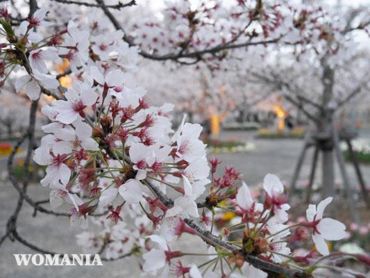 2018年 桜写真 ソメイヨシノ