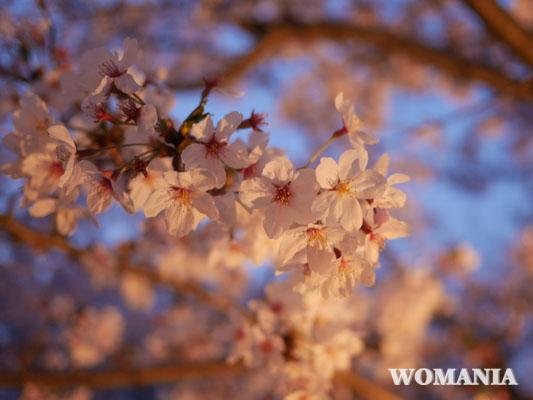 桜 花見 幕張 さくら広場 口コミ