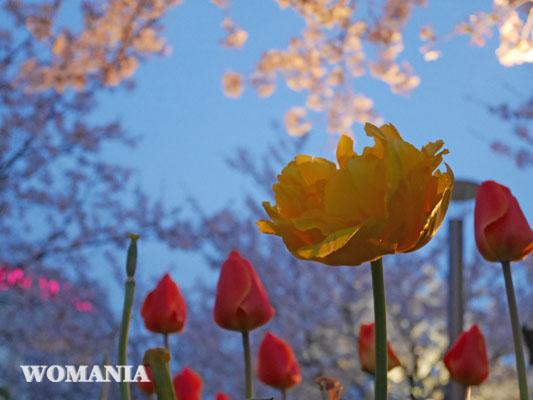 2018年 幕張 さくら広場 チューリップと桜