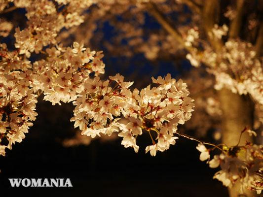 千葉 夜桜 ライトアップ