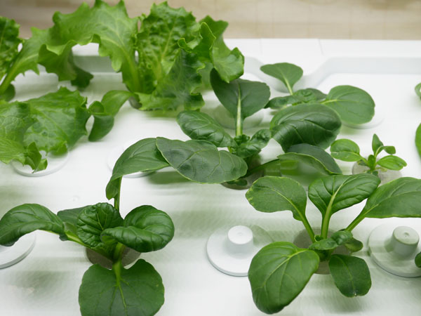 水耕栽培器 ユーイング グリーンファーム 成長